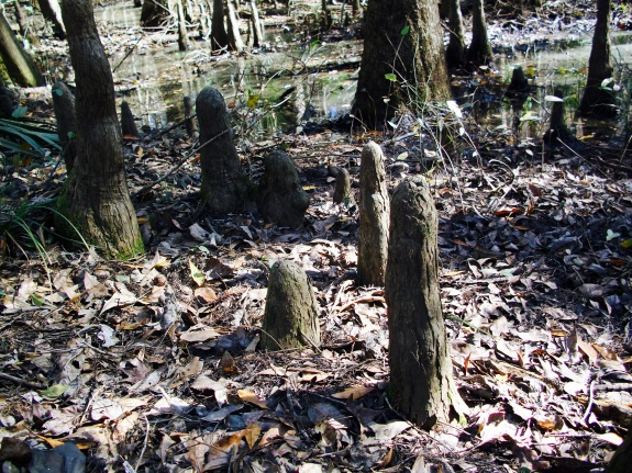 "Cypress ""knees"" on the Savannah-Ogeechee Canal Trail"